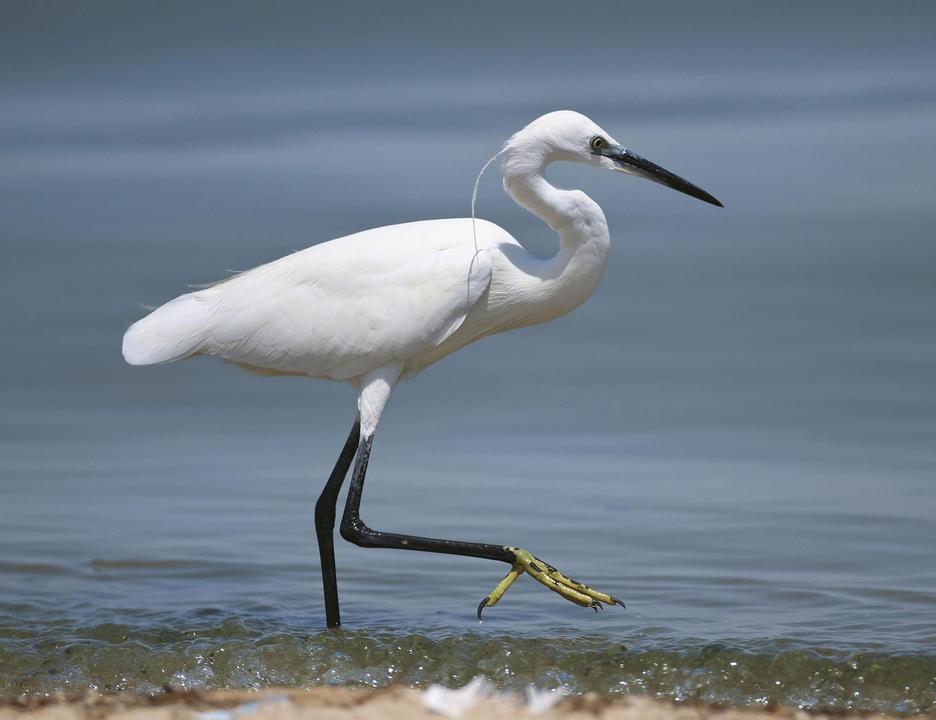 Little egret pictures