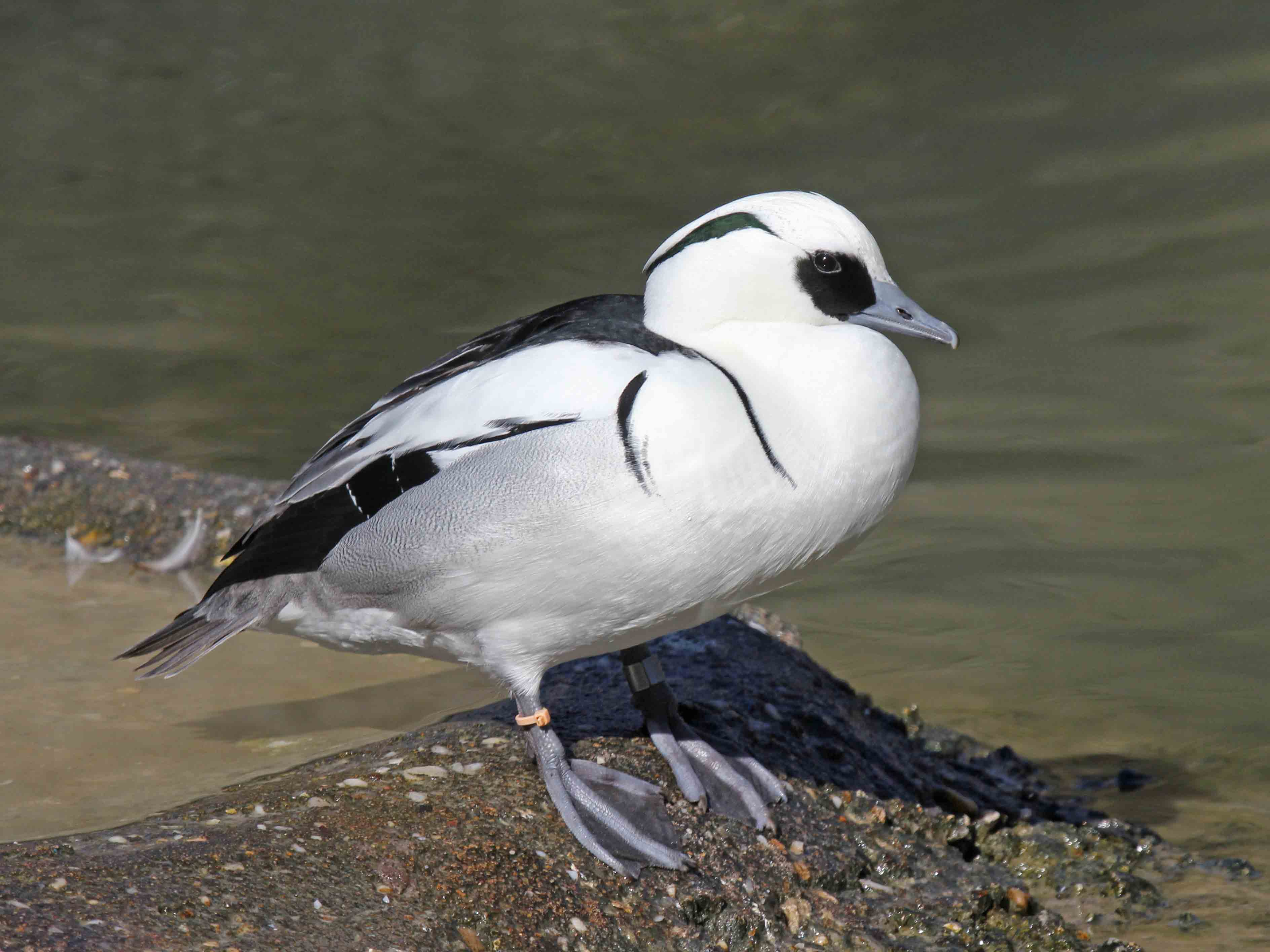Male smew duck pictures