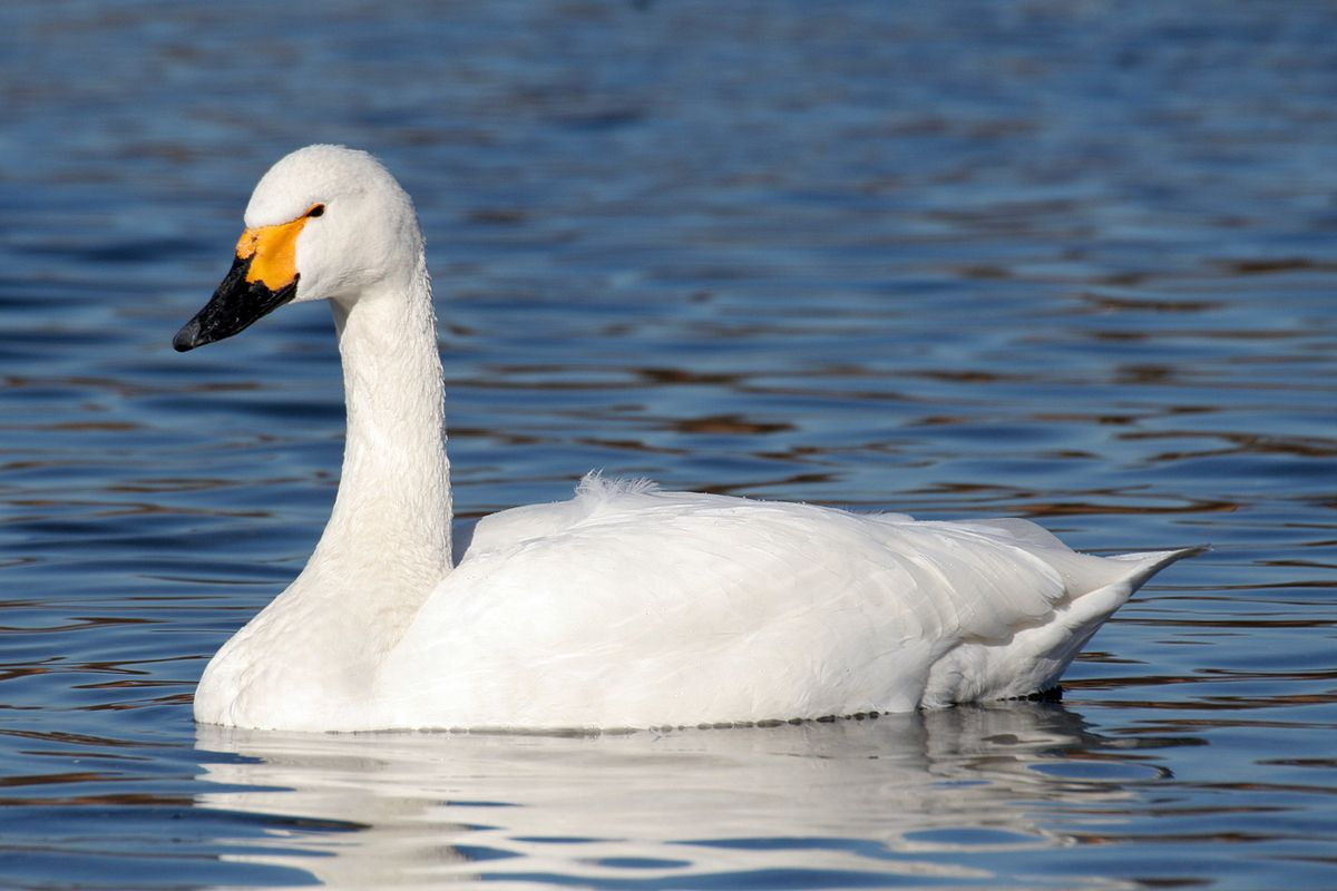 Male tundra swan photos