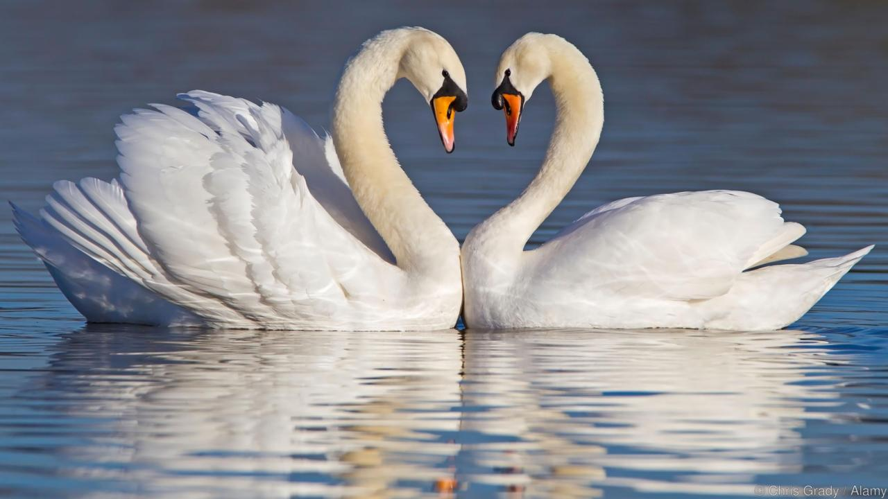 Mute swan desktop wallpapers