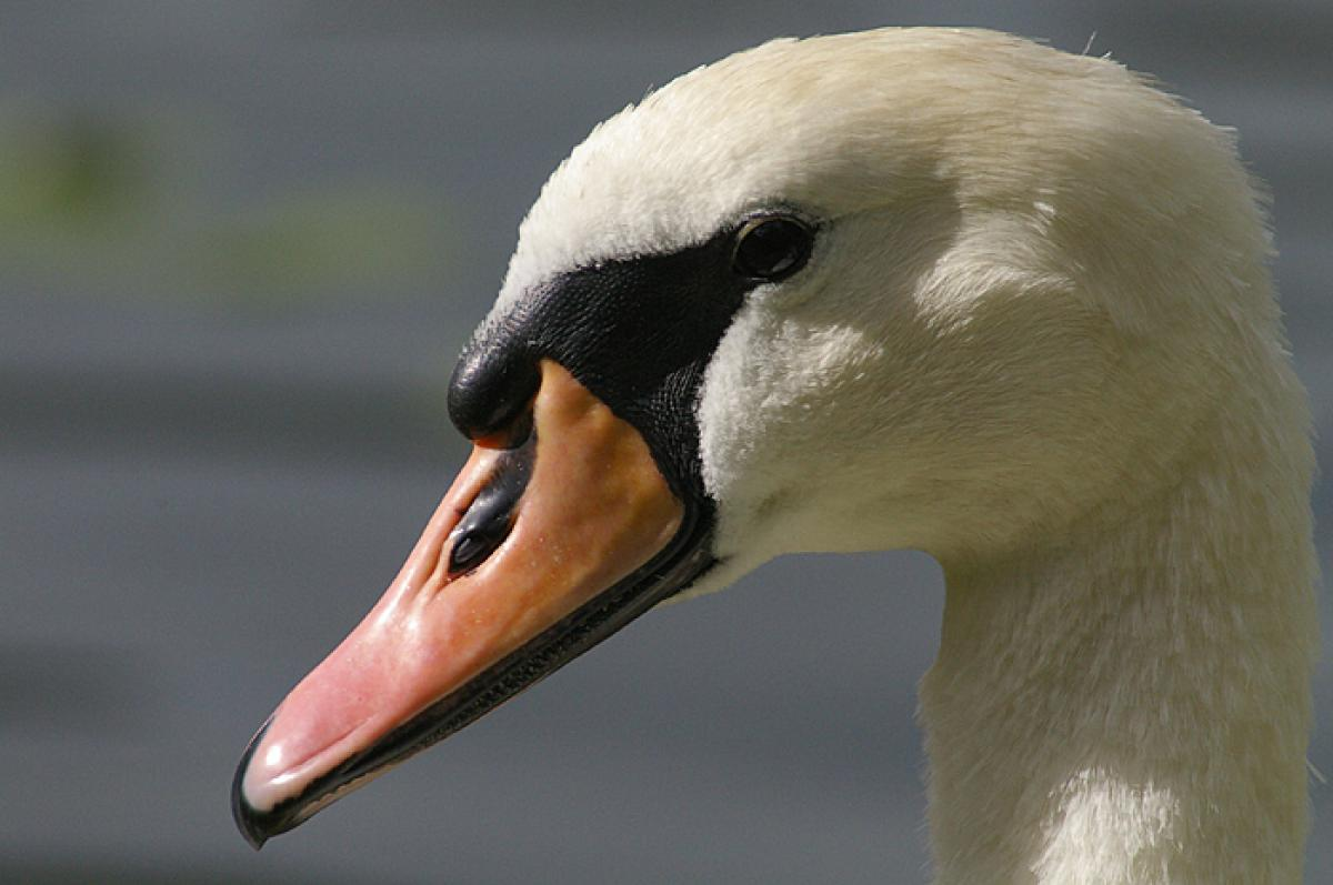 Mute swan face wallpapers