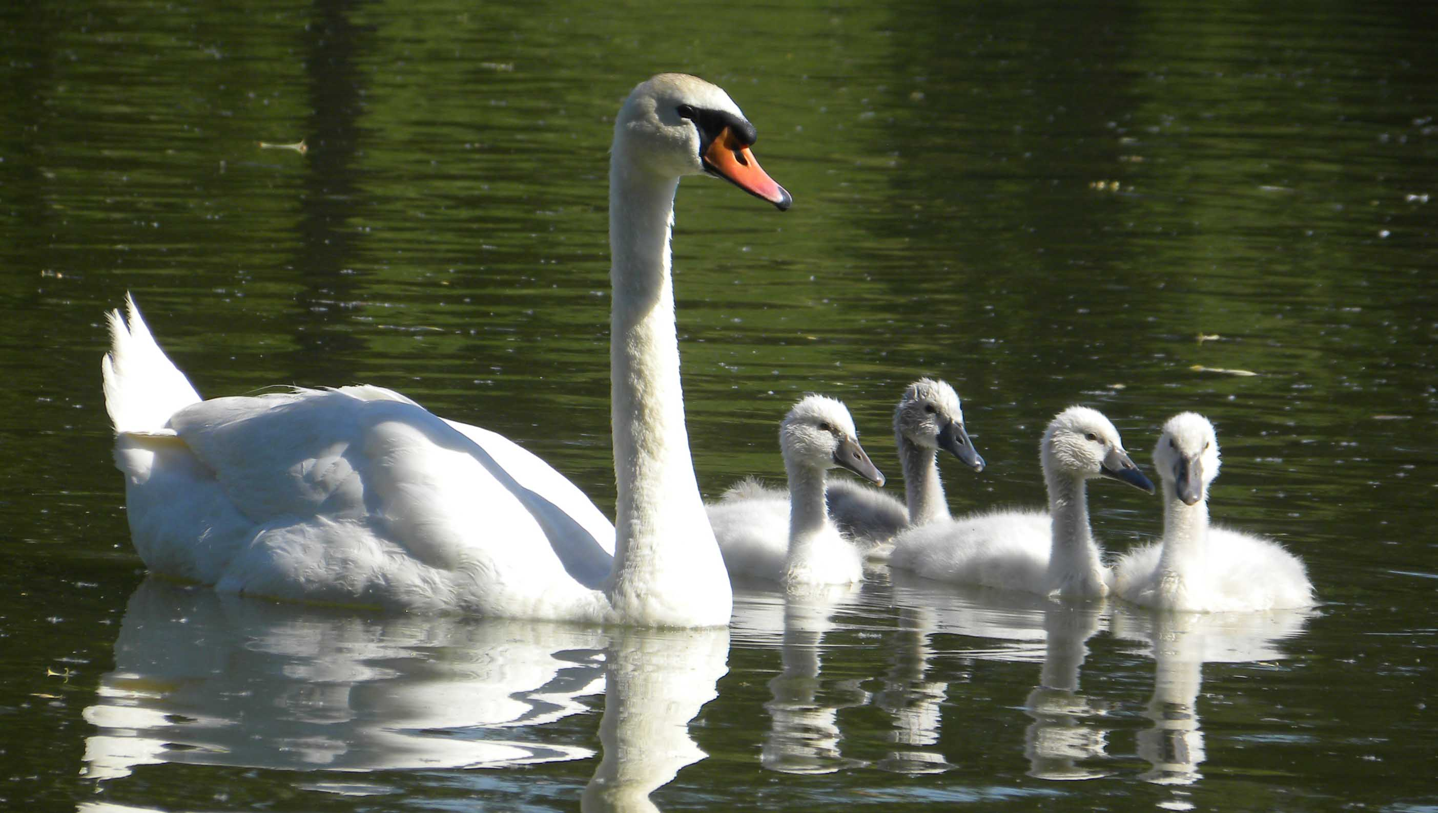 Mute swan family photos