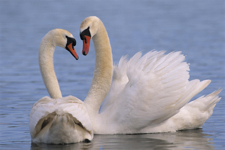 Mute swan pair photos