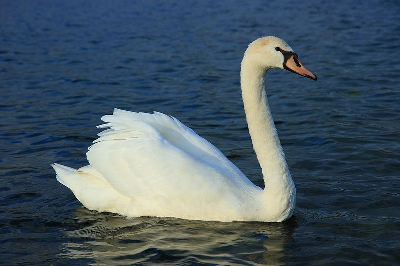 Mute swan pictures