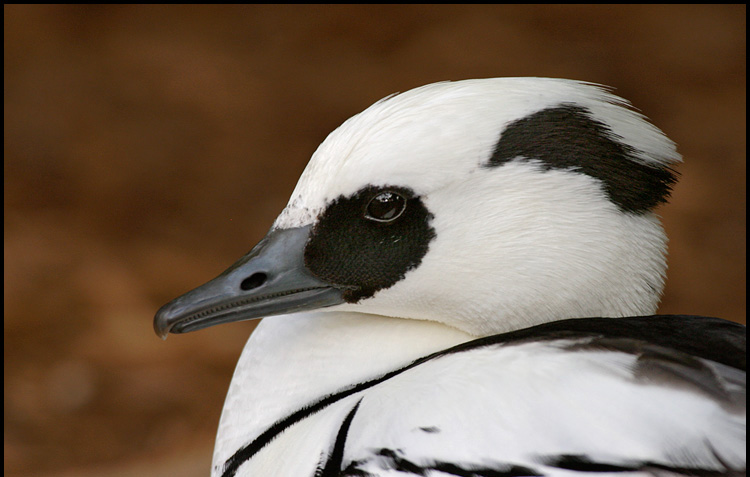 Smew duck face wallpapers