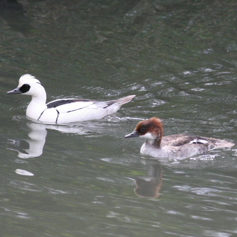 Smew duck pair pictures