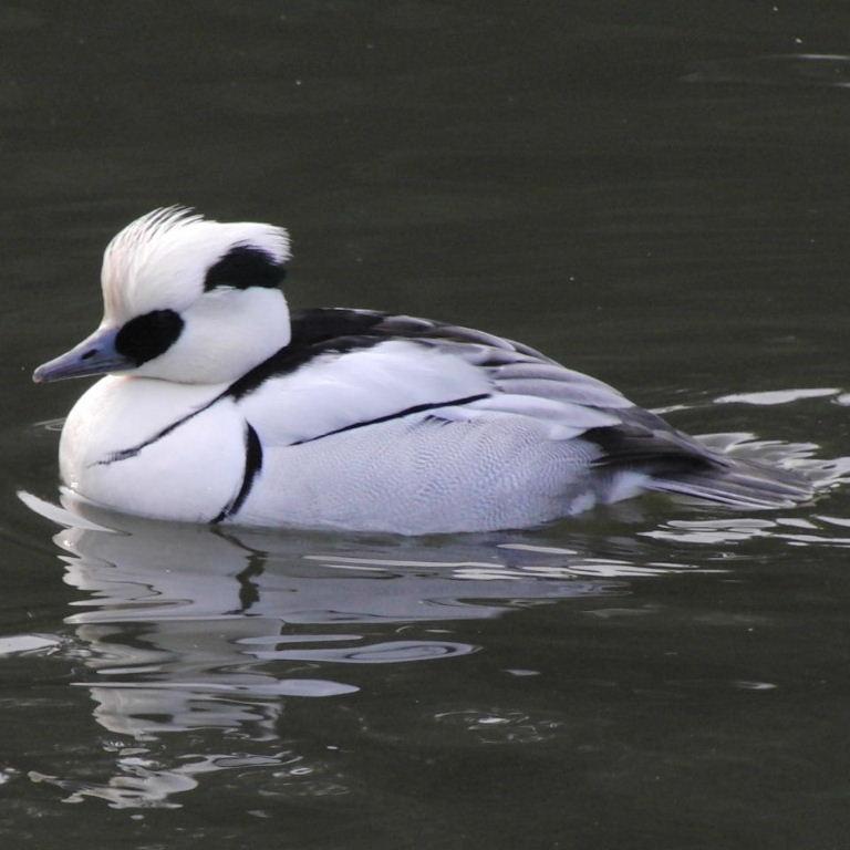 Smew duck photos
