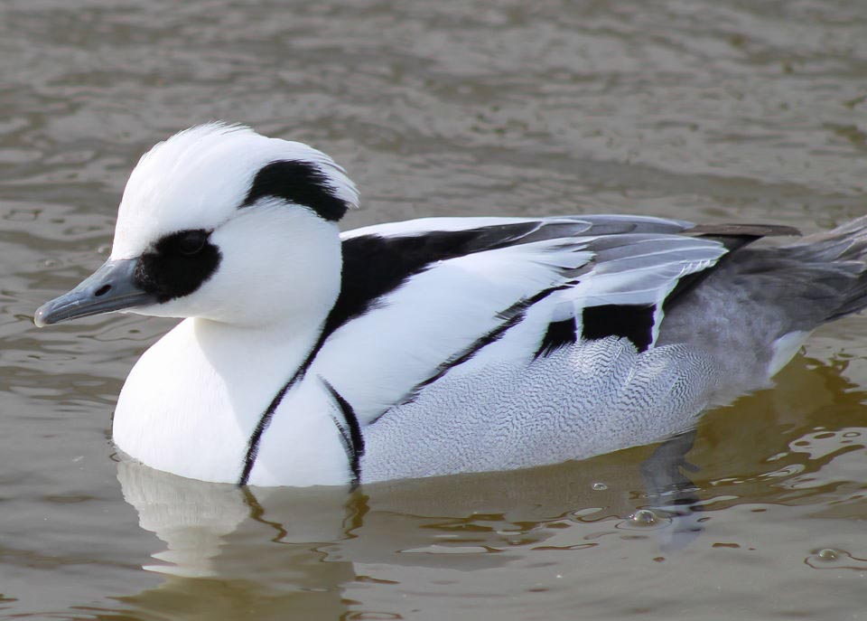 Smew male pictures