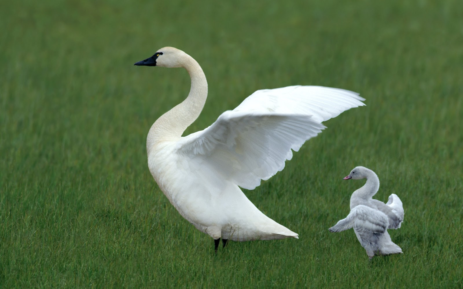 Tundra swan duck baby pictures