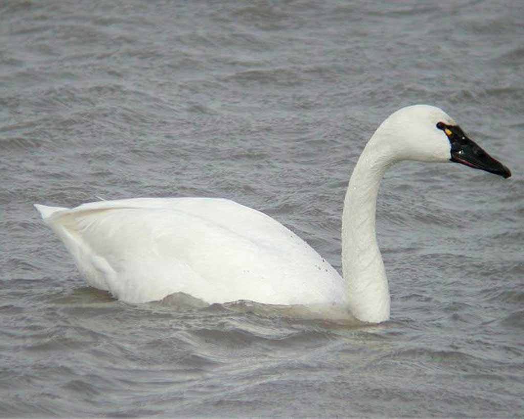 Tundra swan duck photos