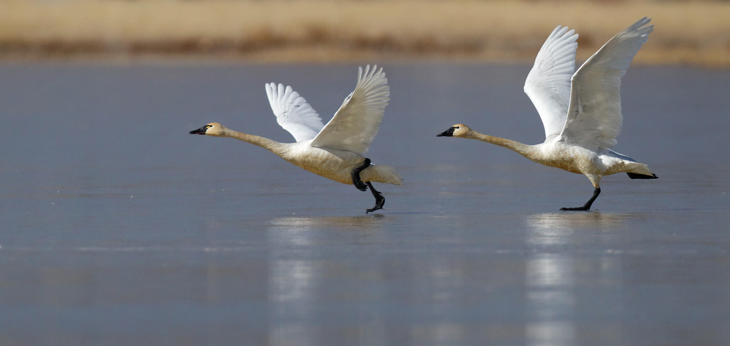 Tundra swan flight photos