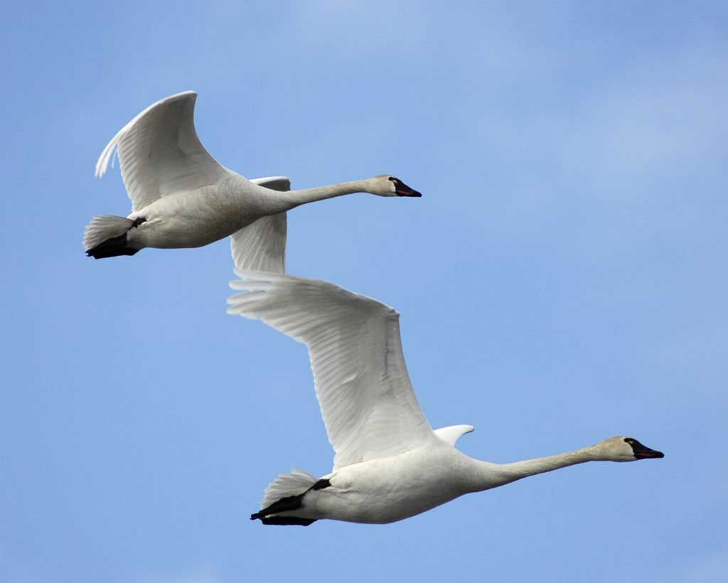 Tundra swan flying photos