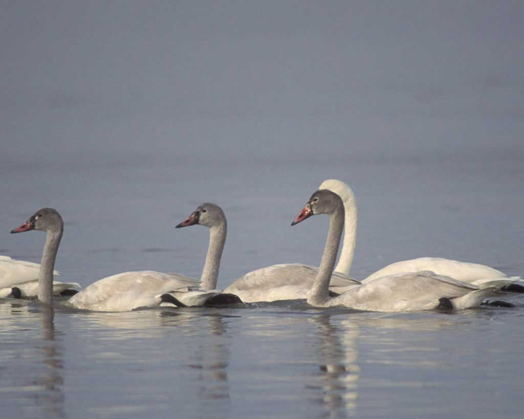 Tundra swan group photos