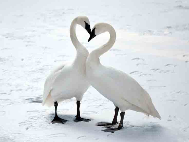 Tundra swan pair wallpapers