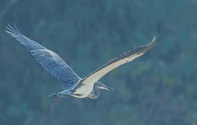 White bellied heron flying photos