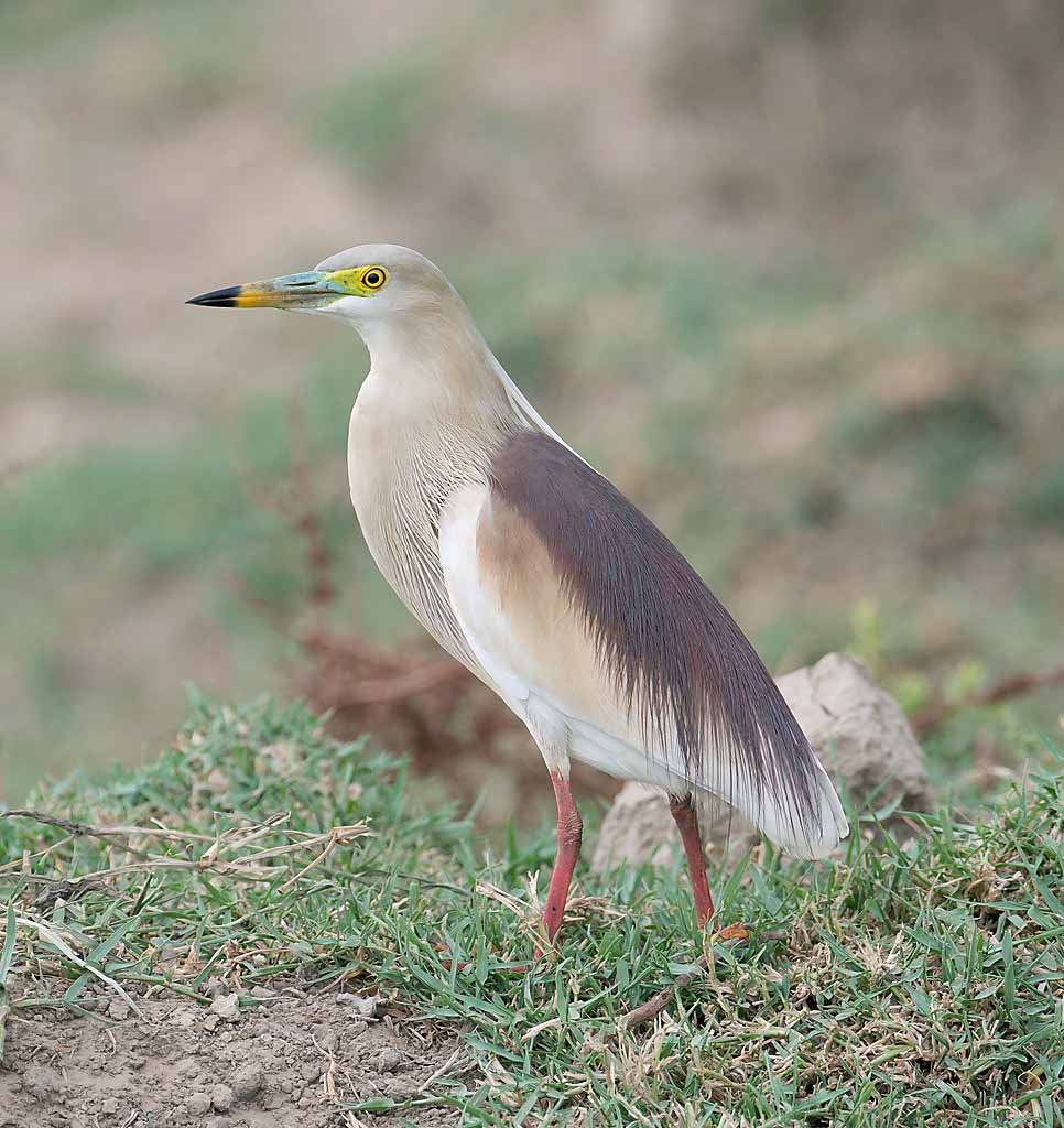 White indian pond heron pictures