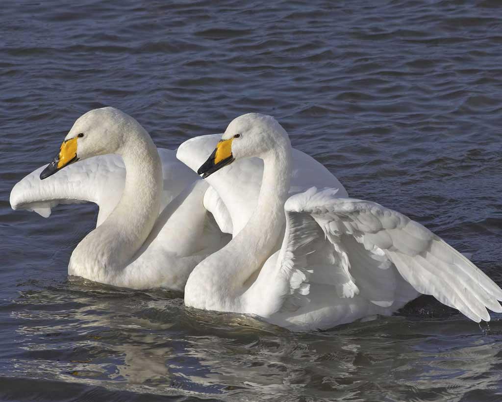 Whooper swan desktop wallpapers