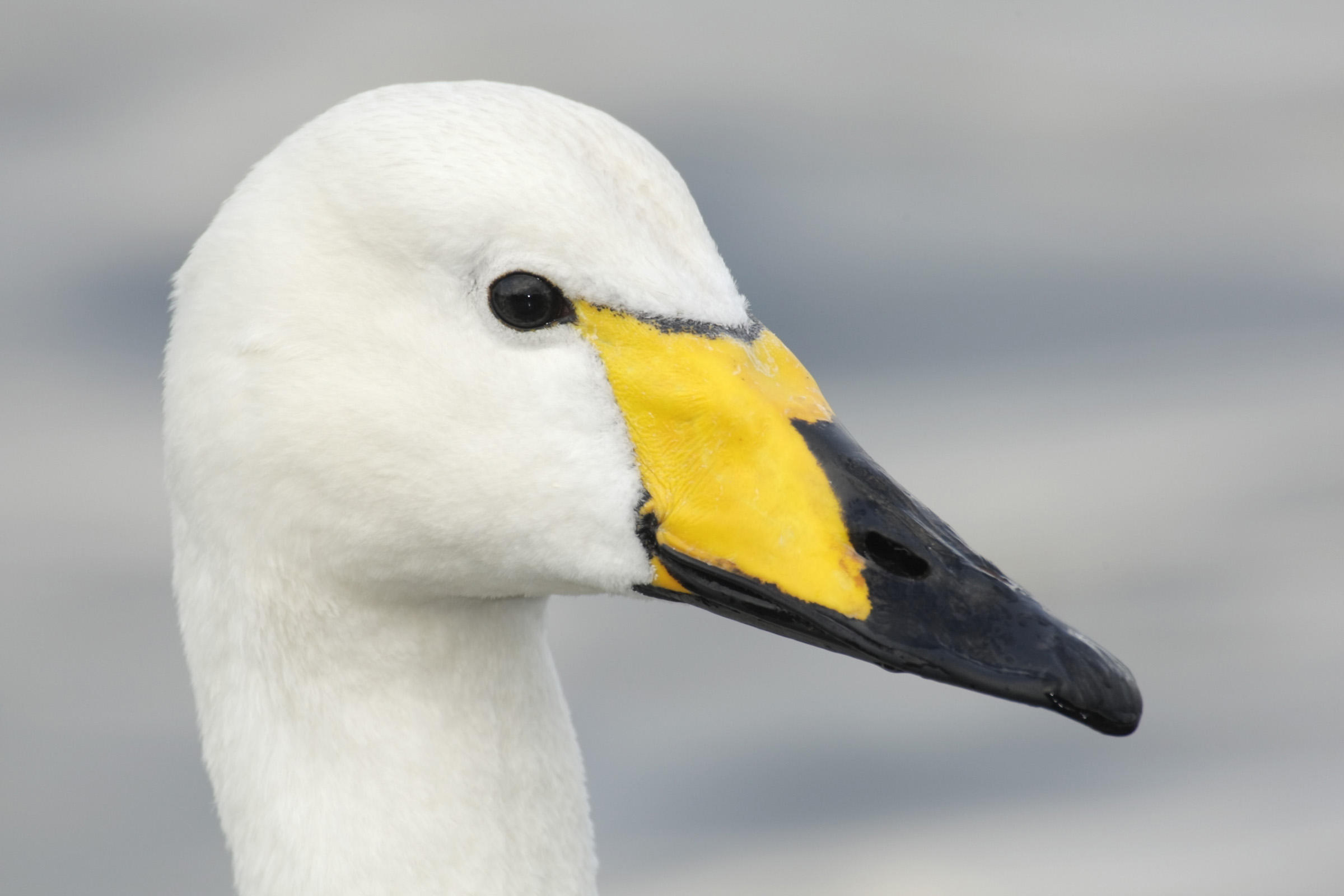 Whooper swan face pictures