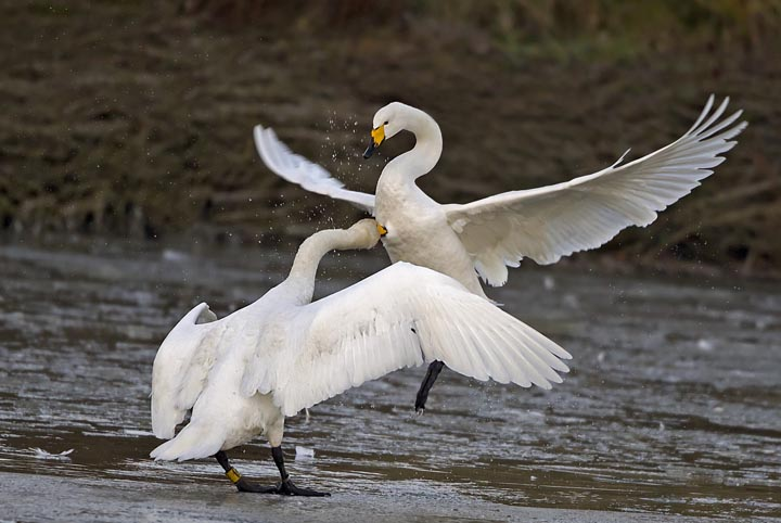 Whooper swan fight photos