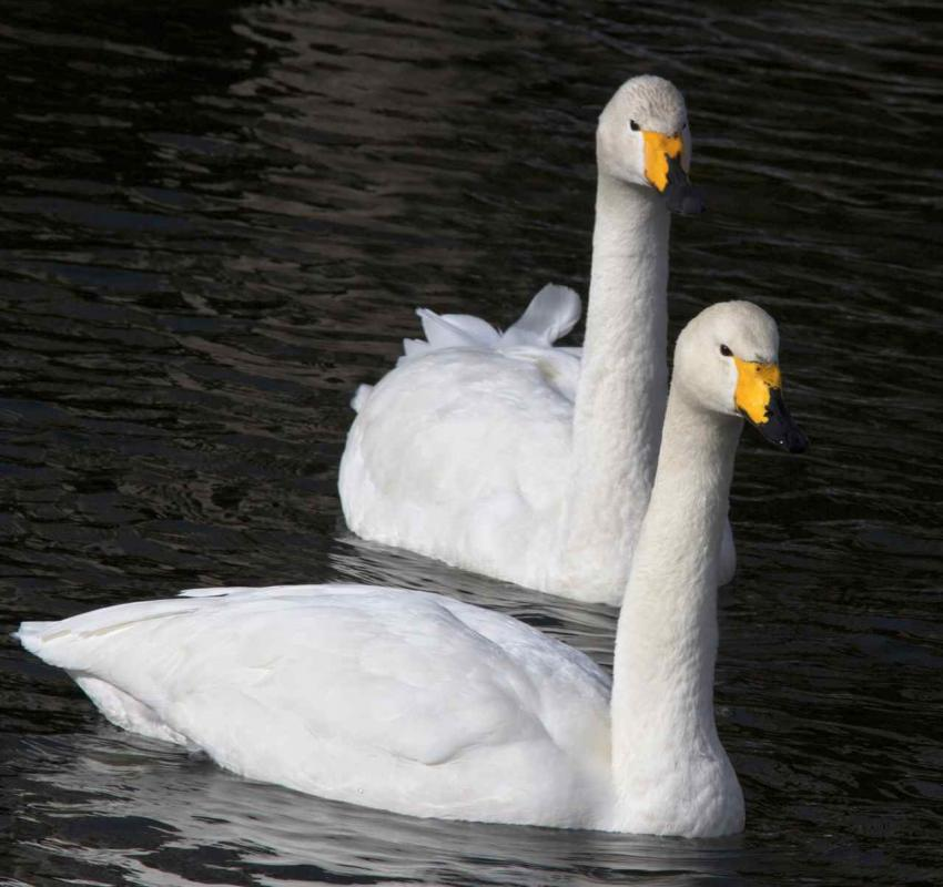 Whooper swan male and female photos
