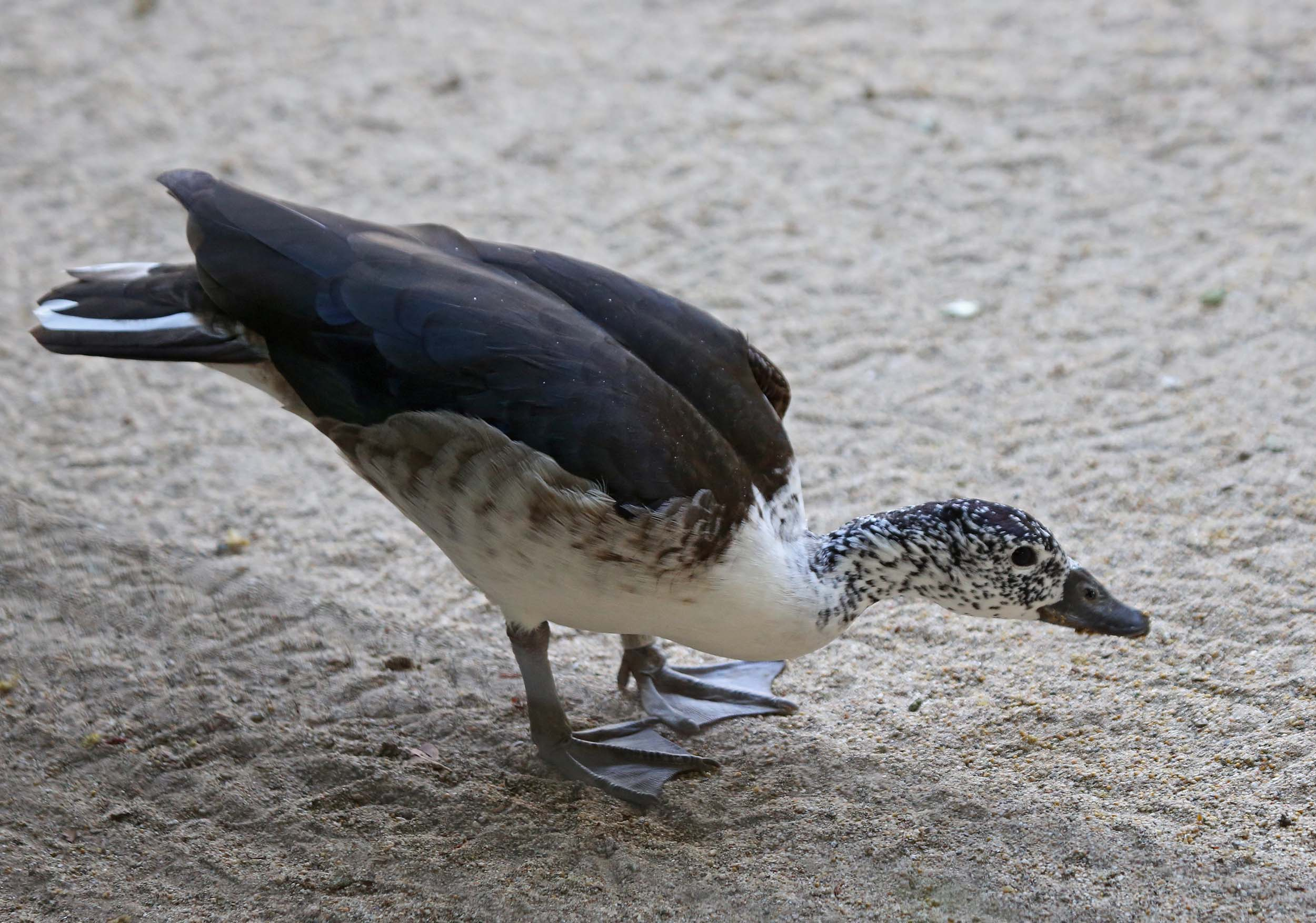 African comb duck images