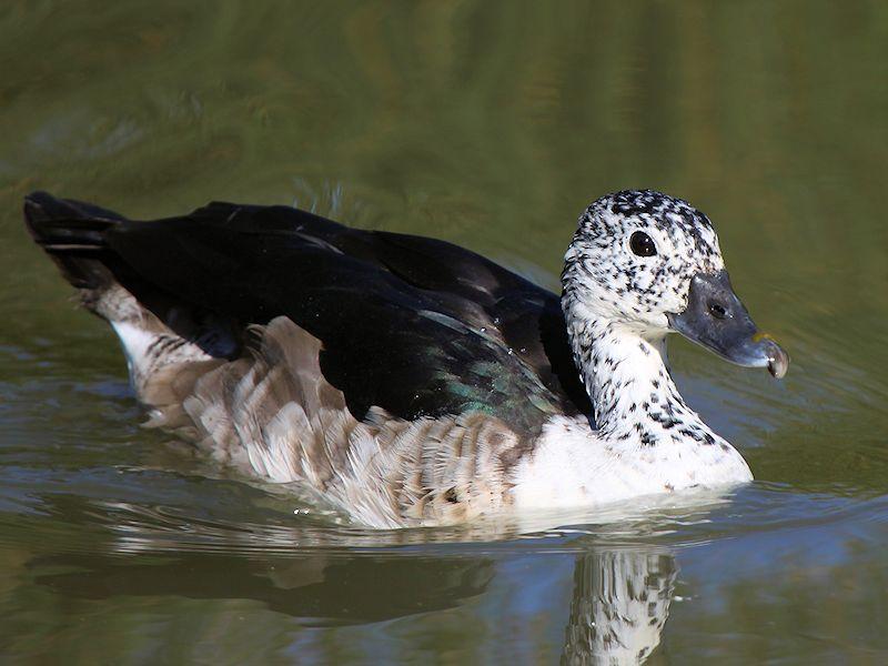 African comb duck photos