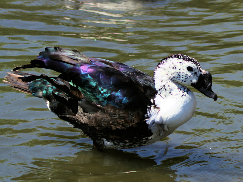 African comb duck pictures