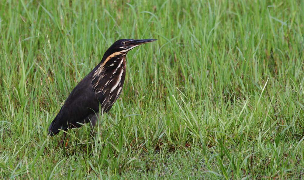 Black bittern male pictures