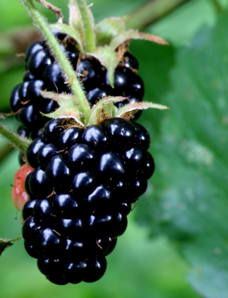Blackberry fruit mobile wallpapers