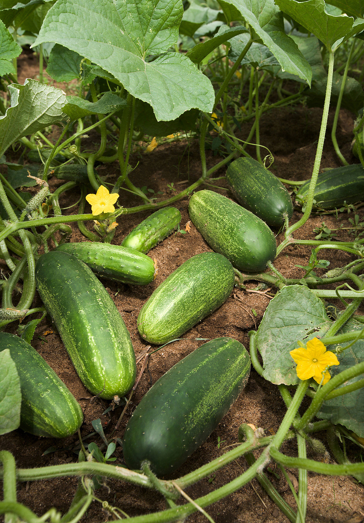 Cucumber fruit in plant photos
