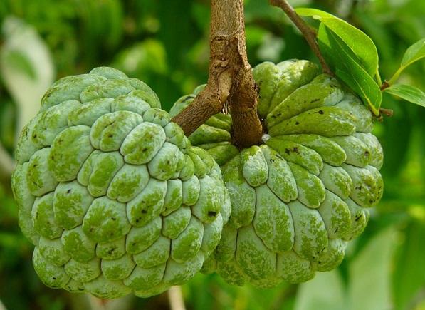 Custard apple in tree photos