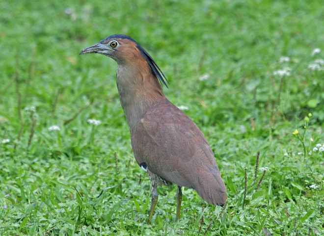 Female malayan night heron birds