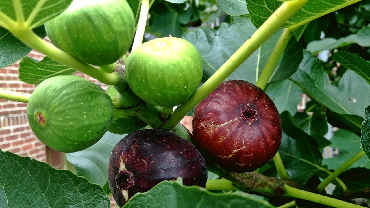 Figs fruit tree pictures