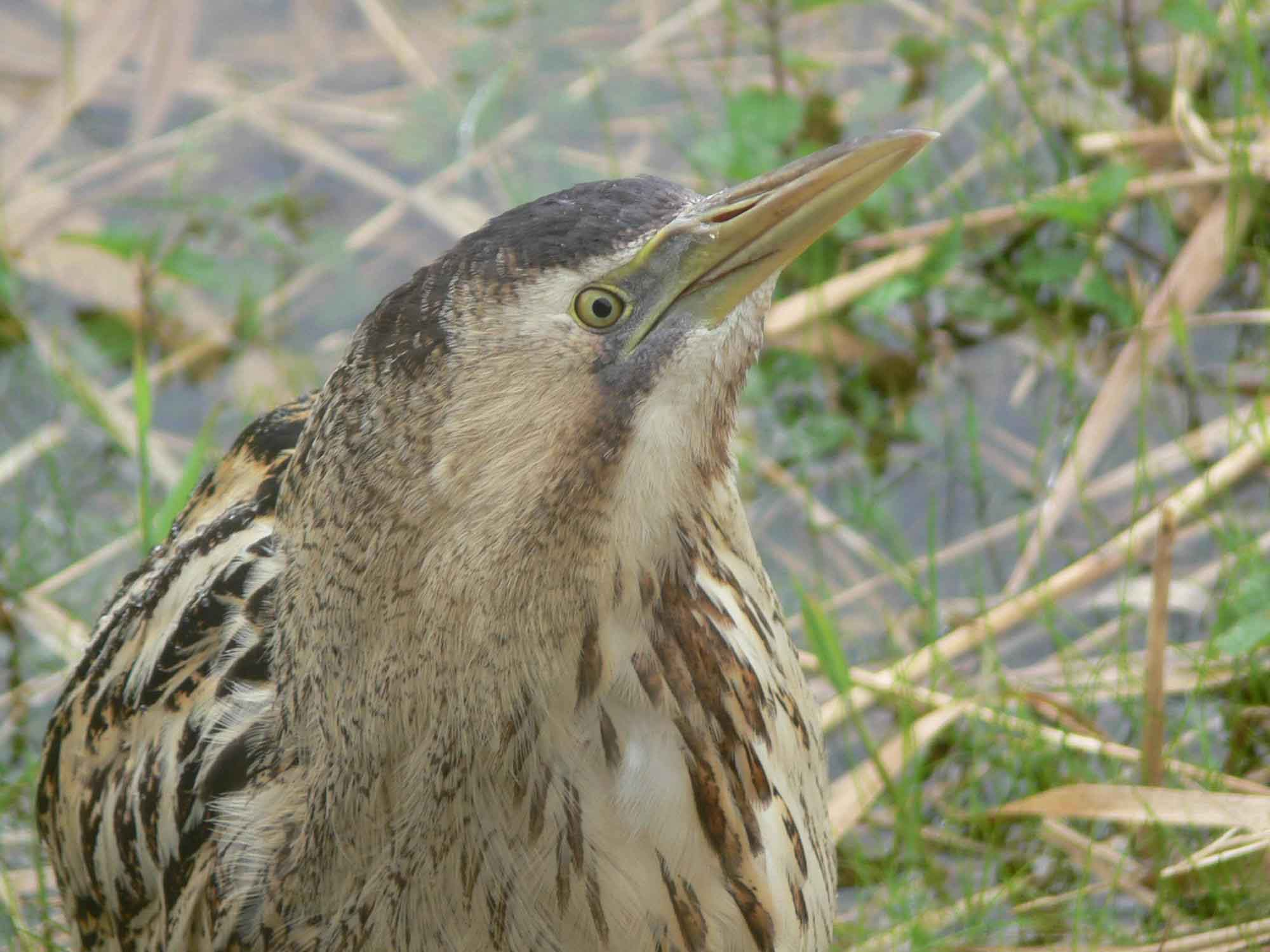 Great bittern face pictures