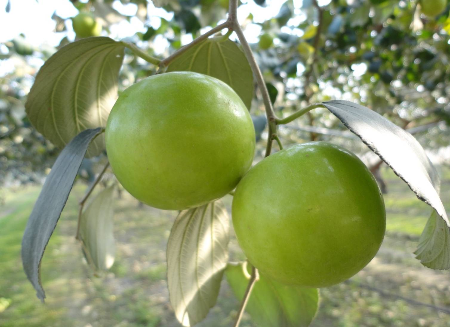 Indian jujube fruits gallery