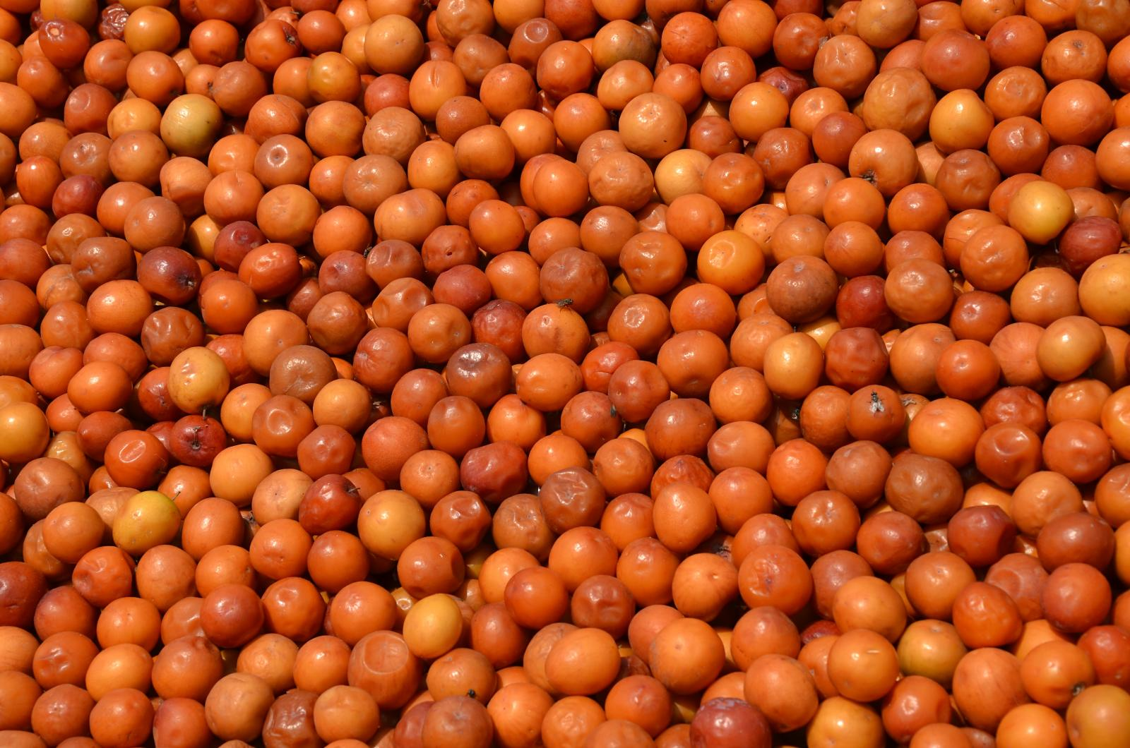 Indian jujube many fruits pictures