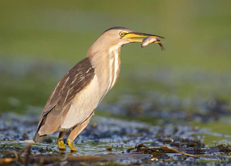 Little bittern eating photos