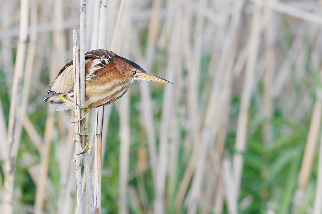 Little bittern female wallpapers