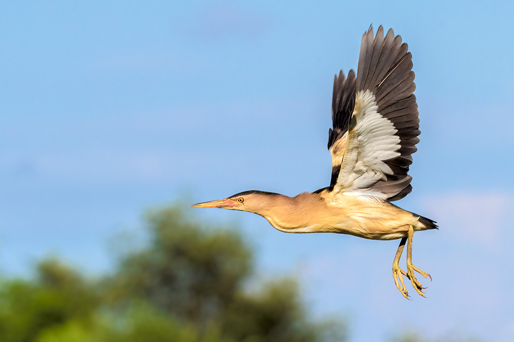 Little bittern flight photos