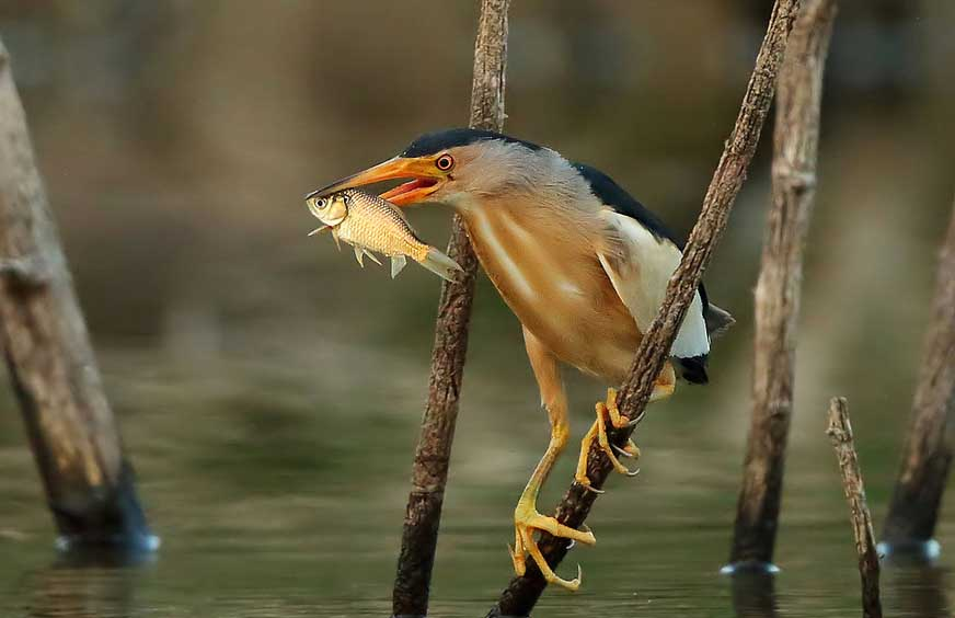 Little bittern male eating wallpapers