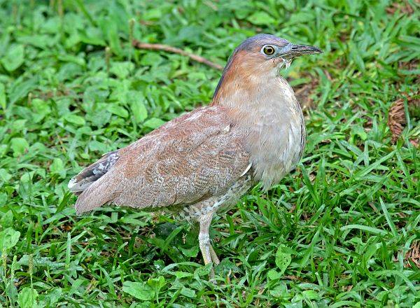 Malayan night heron female pictures