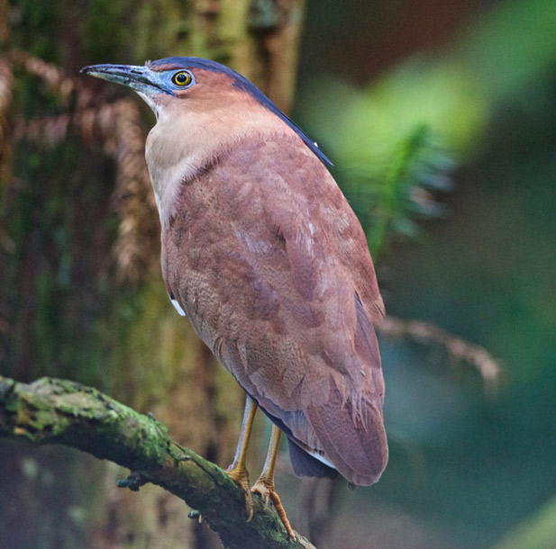 Malayan night heron gallery