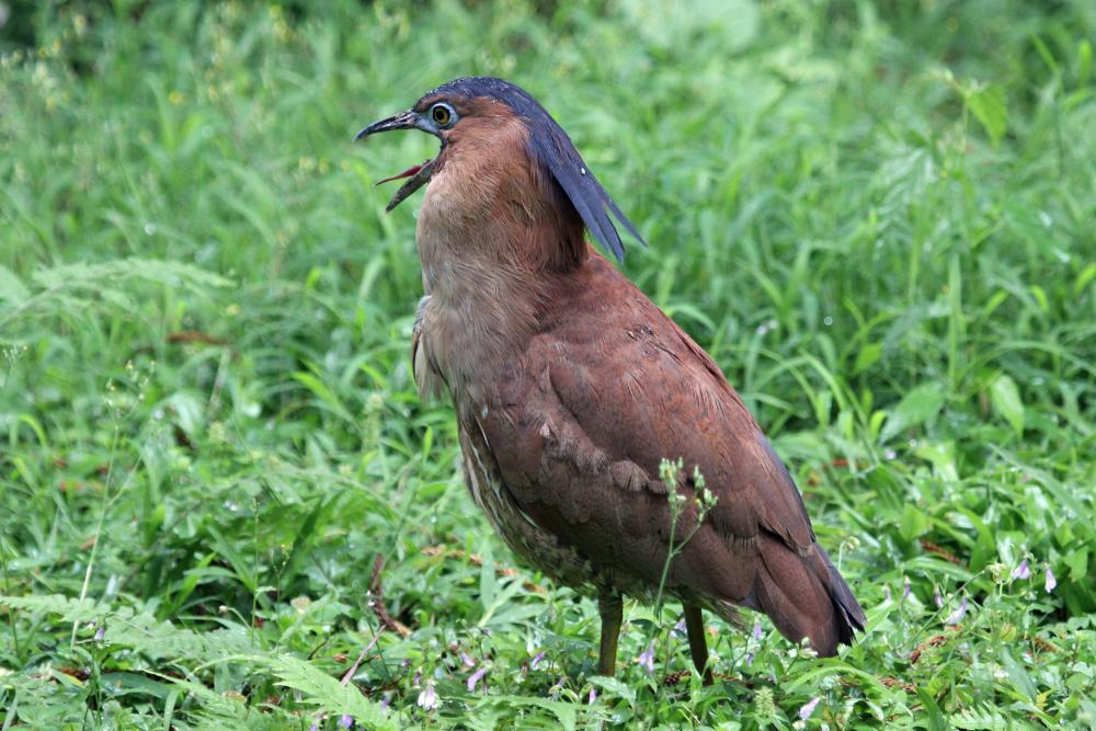Malayan night heron male wallpapers