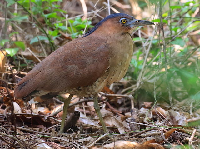 Malayan night heron photos