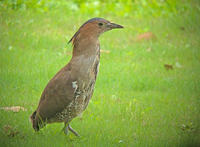 Malayan night heron wallpapers