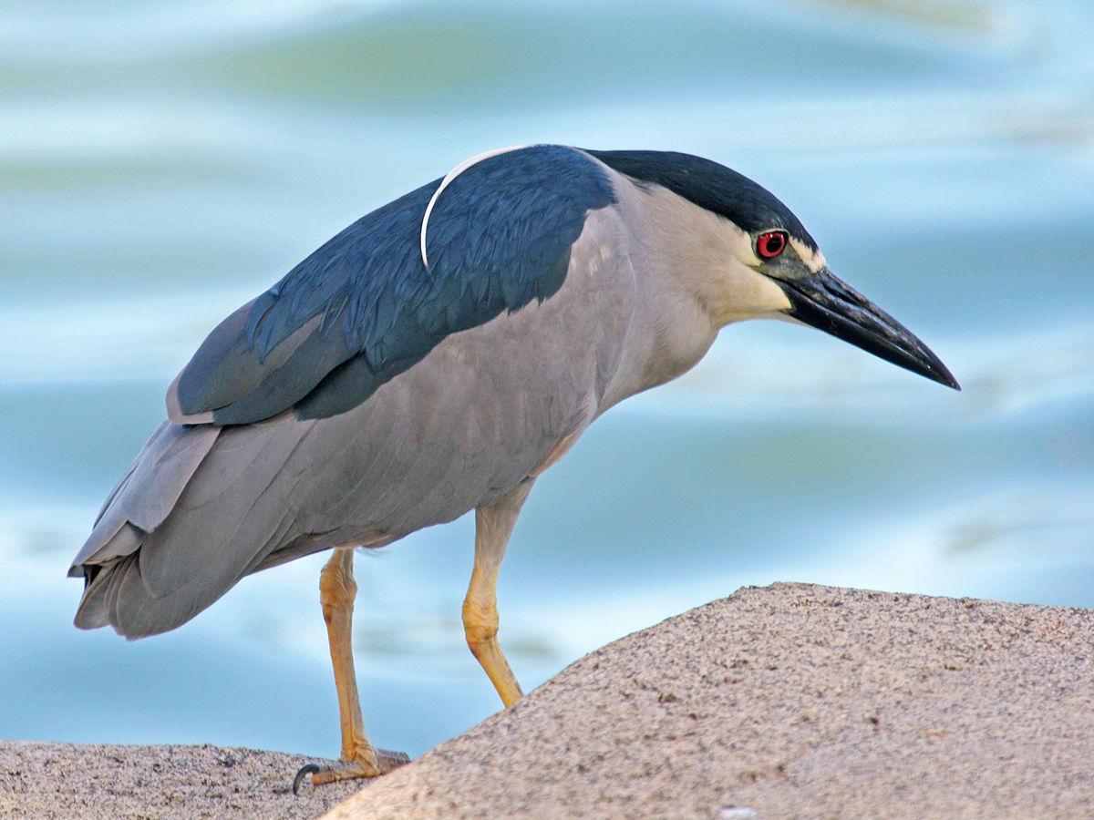 Male striated heron desktop wallpapers