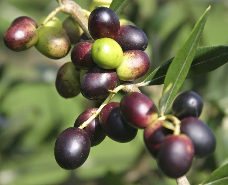 Olive fruits tree wallpapers