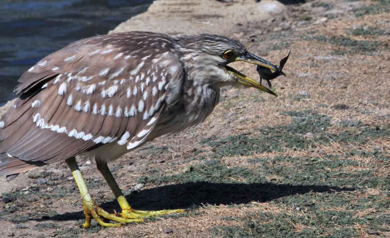 Striated heron eating photos