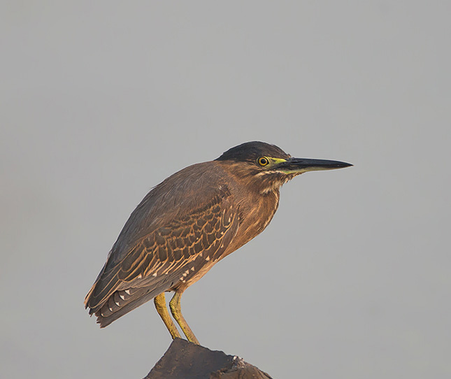 Striated heron female birds gallery