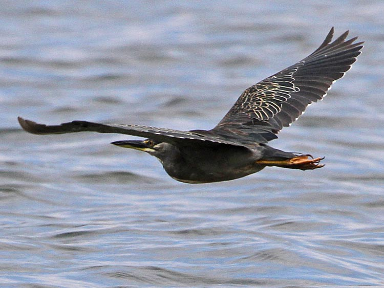 Striated heron flight photos